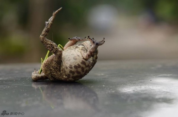 Toad tickled by mantis